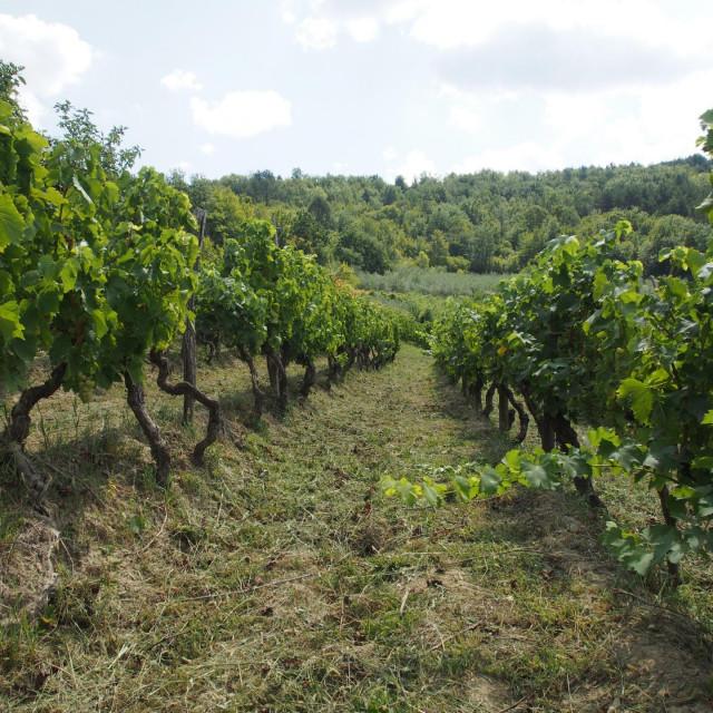 Vinogradi vinarije Benvenuti nedaleko Motovuna
