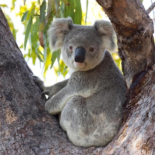 Koala, ilustracija