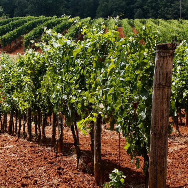 Vinogradi u okolici Vizinade na crvenoj zemlji
