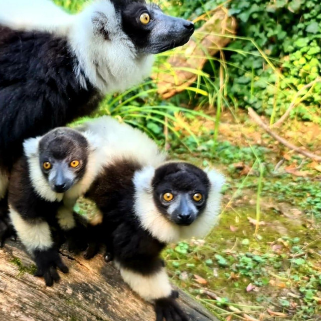 čupavouhi lemuri