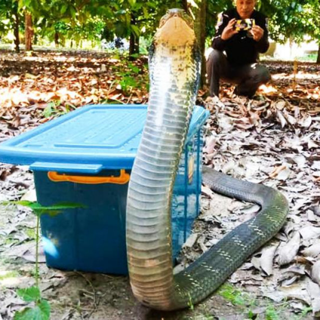 Agresivna kraljevska kobra