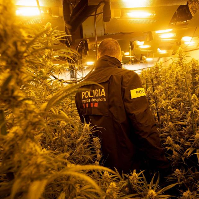 Mossos d'Esquadra u ilegalnoj plantaži marihuane u Barceloni