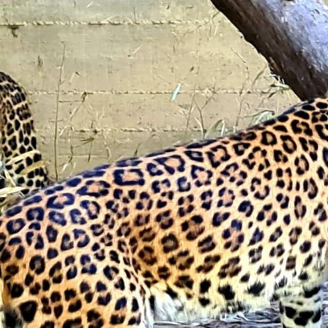 Kineski leopardi Odilia i Tadzik