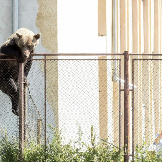 Mužjak smeđeg medvjeda koji je nedavno viđen u gradskoj zoni Rumunjske. (EPA-EFE/NANDOR VERES HUNGARY OUT)