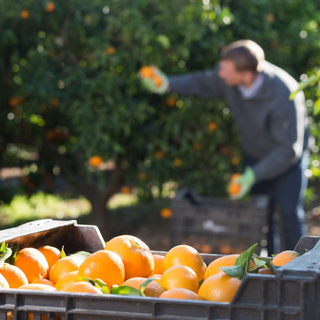 Berba mandarina ujedno je i prilika da turisti upoznaju dolinu Neretve