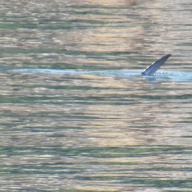 Velika riba kod Lovrana