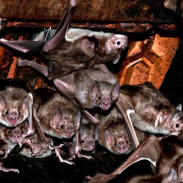 Kolonija vampirskih šišmiša; ilustracija