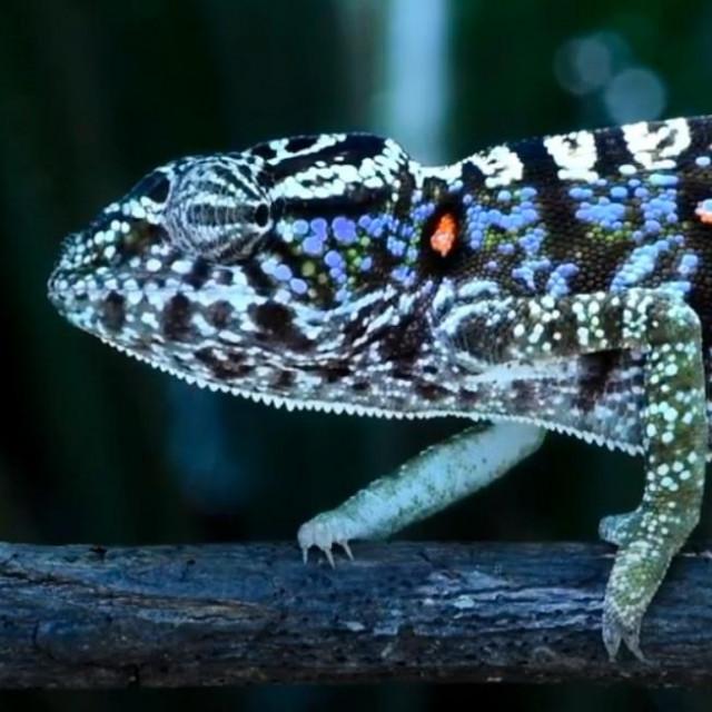 Voeltzkowov kameleon