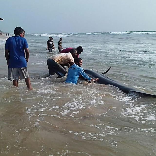 Nasukani kitovi na Šri Lanci