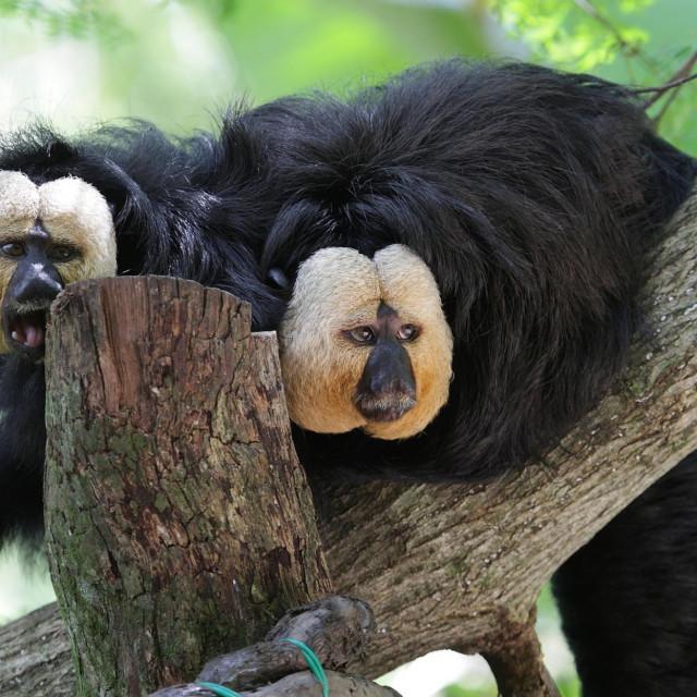 Majmuni saki