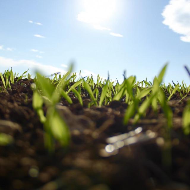 Psenicna trava u proljece_1