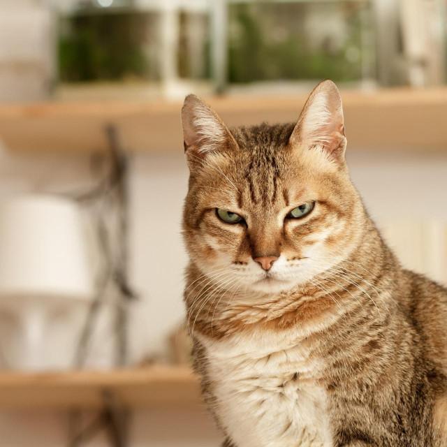 Ljuta mačka, ilustracija