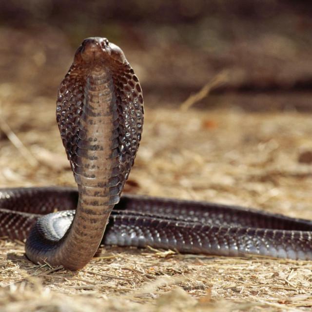 Indijska kobra (Naja naja)
