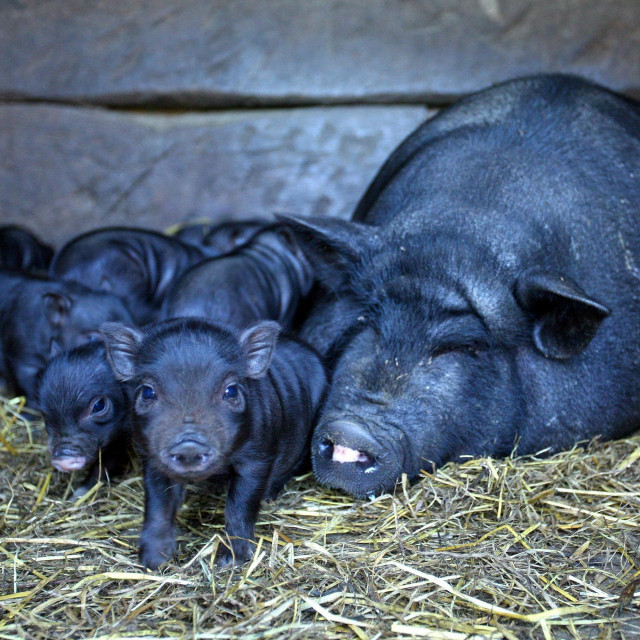 Vijetnamske svinje