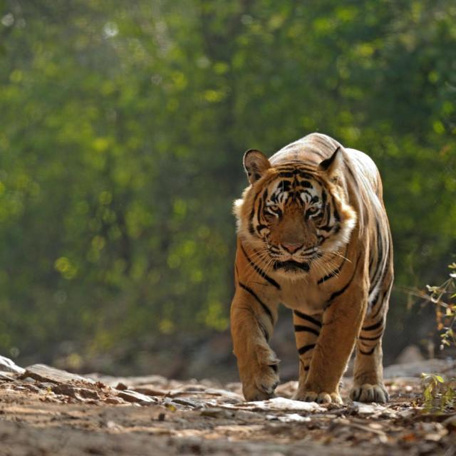 Ilustracija, bengalski tigar