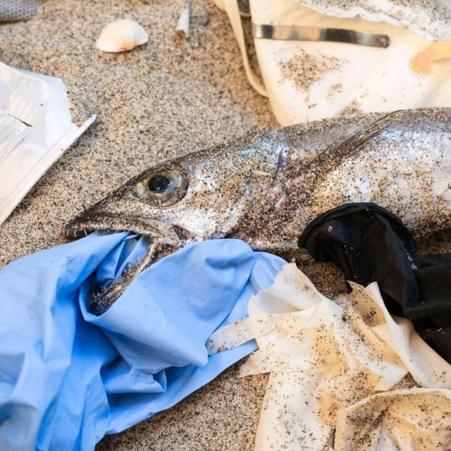 Plastic Garbage from dead cod fish mouth for medical disposable pollution on sandy sea coast, coronavirus disease. High quality 4k footage,Image: 543052814, License: Royalty-free, Restrictions:, Model Release: no, Credit line: Paolo Galasso/Alamy/Alamy/Profimedia
