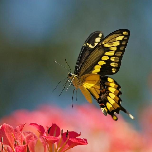 Leptir u letu