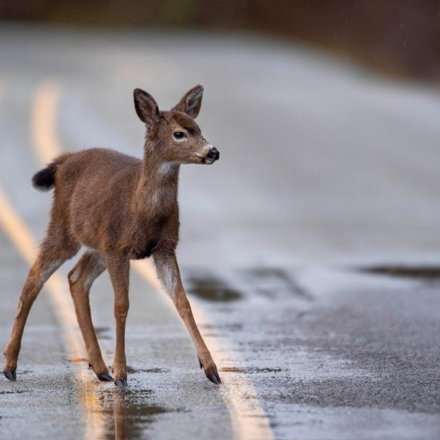 January 12, 2021, Elkton, OREGON, U.S.A: On a rainy day near Elkton in rural western Oregon, a black tailed deer fawn makes its way across a rain slick road. The National Weather Service is predicting heavy rain for the area over the next few day with the possibility of minor flooding.,Image: 582851930, License: Rights-managed, Restrictions:, Model Release: no, Credit line: Robin Loznak/Zuma Press/Profimedia