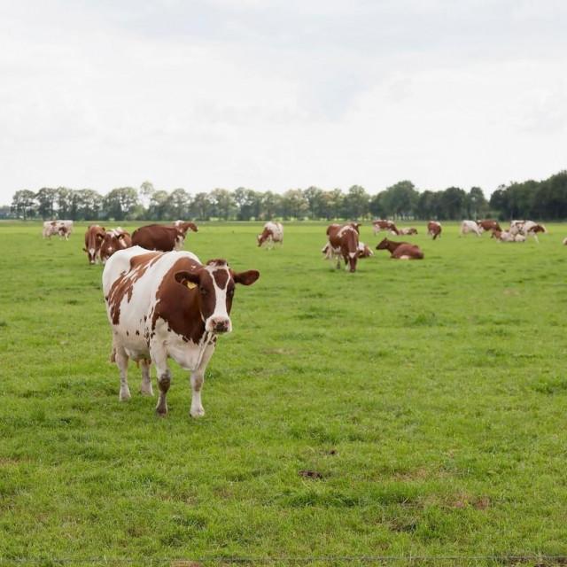 Ilustracija, krave