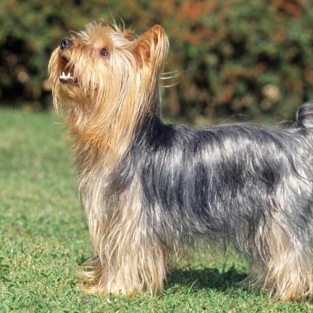 Yorkshire Terrier Dog - barking on grass,Image: 174698812, License: Rights-managed, Restrictions:, Model Release: no, Credit line: -/Ardea/Profimedia