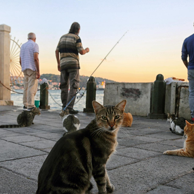 Mačke na mostu Galata među ribarima