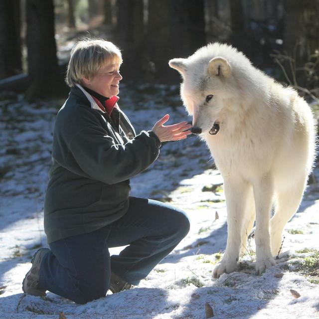 Radinger:Vuk kad ostari može računati da će ga drugi vukovi iz njegova čopora paziti, osigurati mu hranu i zaštitu.<br /> foto: Tanja Askani