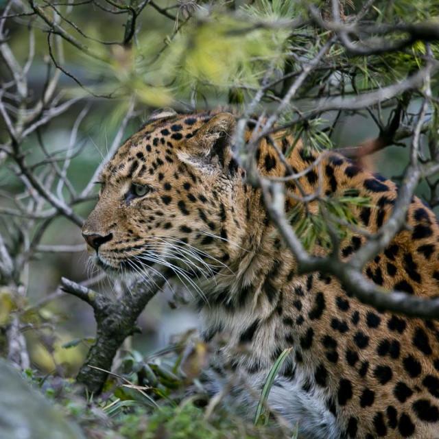 Kineski leopard<br />