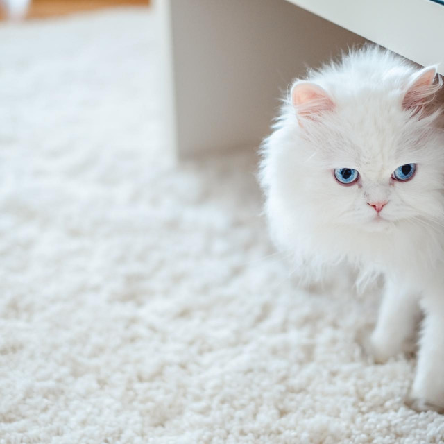 White cat under the table looking angry