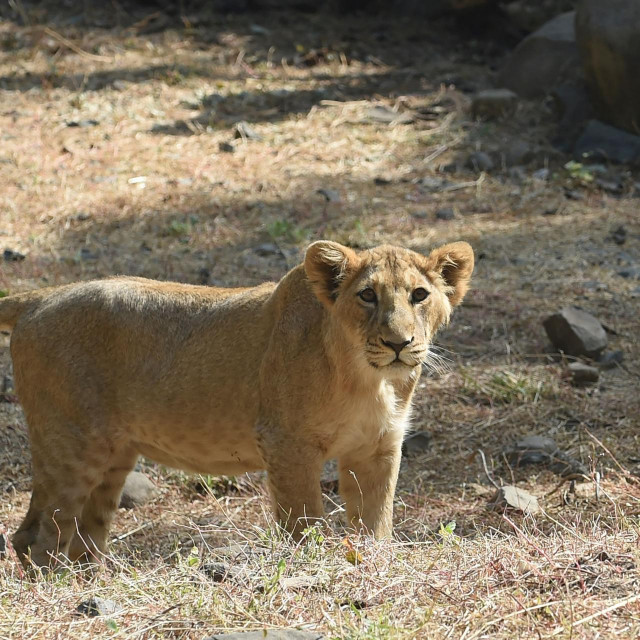 This picture taken on January 7, 2021 shows a lion cub inside an enclosure at the Sakkarbaug Zoological Garden, which takes part in a captive breeding programme for endangered Asiatic lions, in Junagadh, some 320 kilometers from Ahmedabad. - An outbreak of a deadly viral disease among Asiatic lions in India's Gir forest is keeping conservationists on their toes amid fears that another epidemic could devastate the last surviving population of the endangered species. (Photo by SAM PANTHAKY/AFP)/TO GO WITH AFP STORY INDIA-ANIMAL-CONSERVATION-HEALTH-LIONS,FEATURE BY ABHAYA SRIVASTAVA