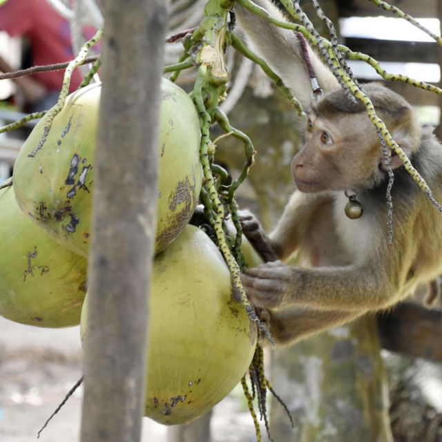 Majmun bere kokosove orahe