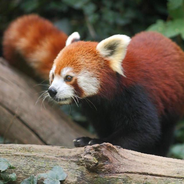crvena panda<br /> foto: zoo