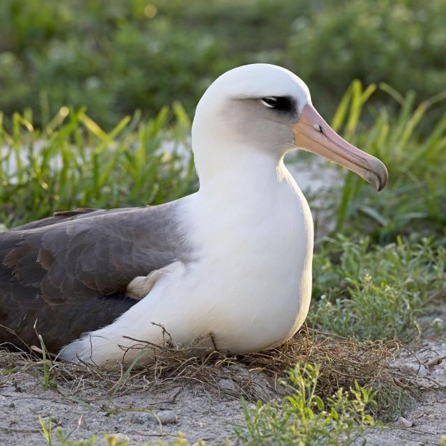 Wisdom, najstarija poznata ženka albatrosa na svijetu