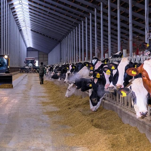 Ilustracija, krave i stočna hrana