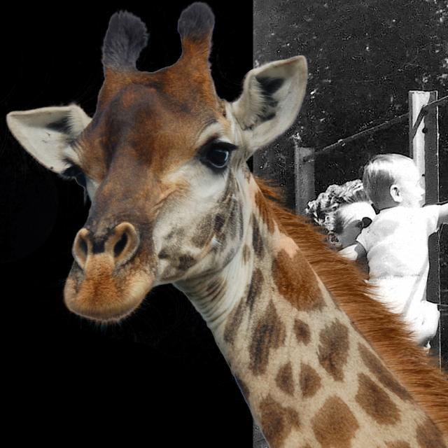 Žirafe u Zagrebu