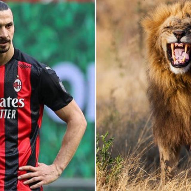 Zlatan Ibrahimović i mužjakj afričkog lava