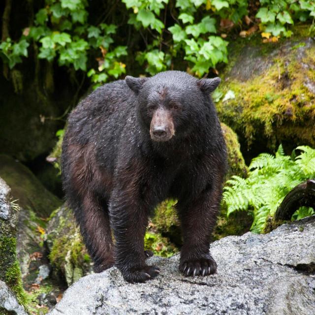 Crni medvjed; ilustracija