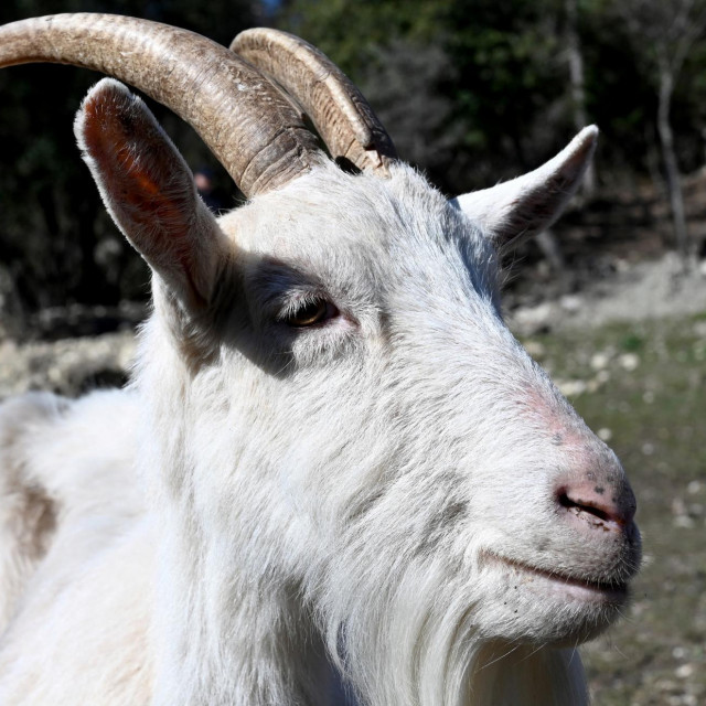 Istarska koza