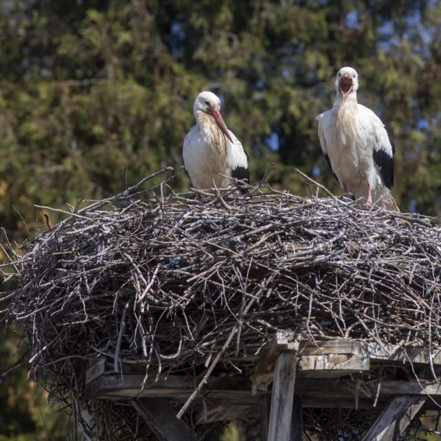 Rode, kao i sve druge ptice močvarice, ugrožene su zbog invazivnih vrsta
