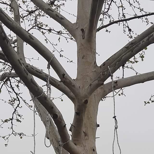 Konopi na stablu u Dubravi