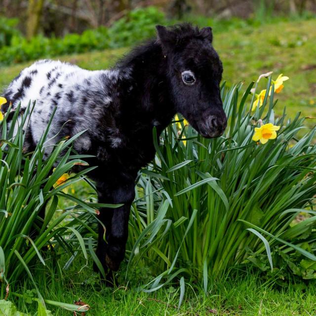 Maleni poni