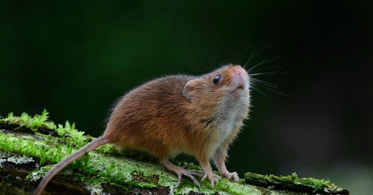 U Gorskom kotaru dosad potvrđeno oko 40 slučajeva obolijevanja od mišje groznice