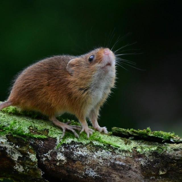 Miš; ilustracija