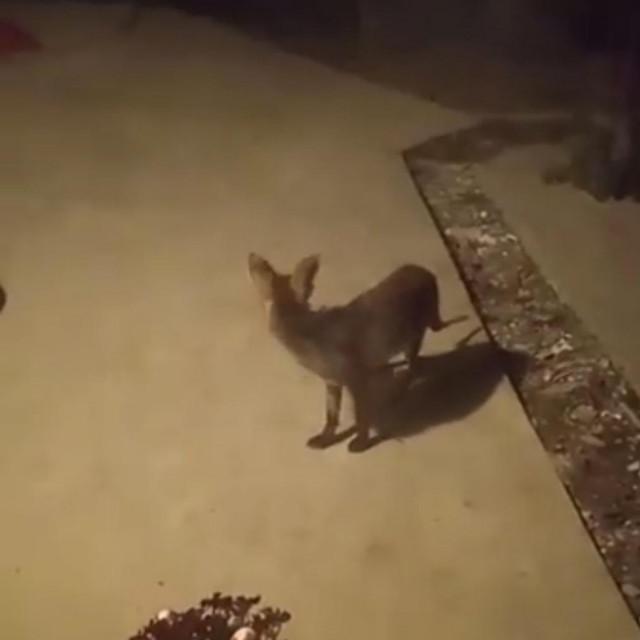 Lisica u dvorištu