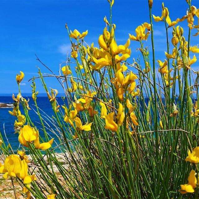 Žuti cvjetovi brnistre prekrasan su ukras ližnjanskog krajobraza.