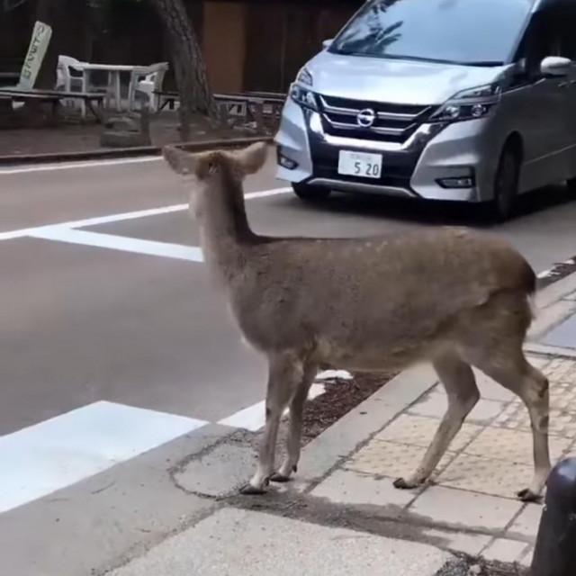 Jelen čeka na prelazak ceste