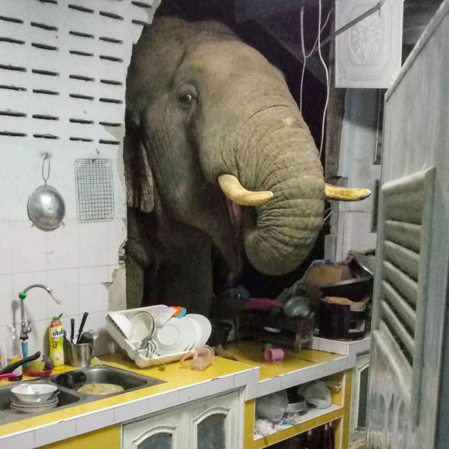 Slon pretražuje kuhinju