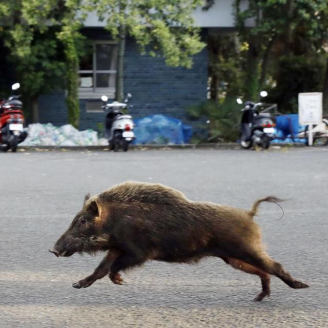 Ilustracija, divlja svinja