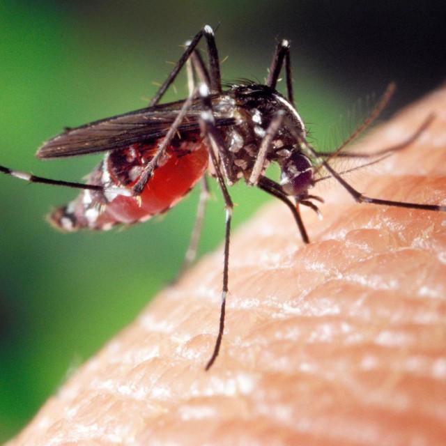 Komarac koji prenosi virus Zapadnog Nila