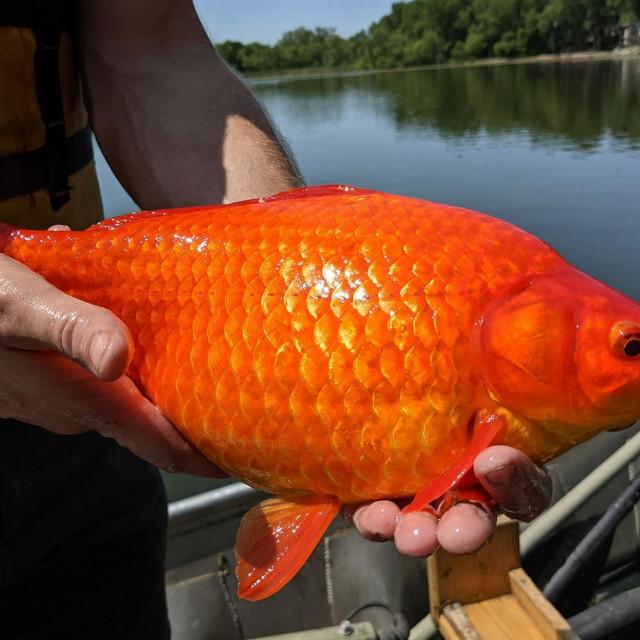 Divovske zlatne ribice