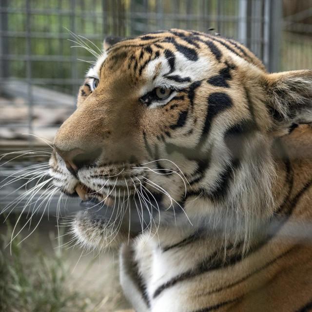 Tigar koji je dovezen s Hvara smjesten je kod Zlatka Budina koji vec ima dva tigra.<br />